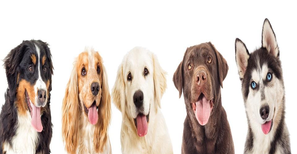 Top 05 des chiens qui se vendent le mieux